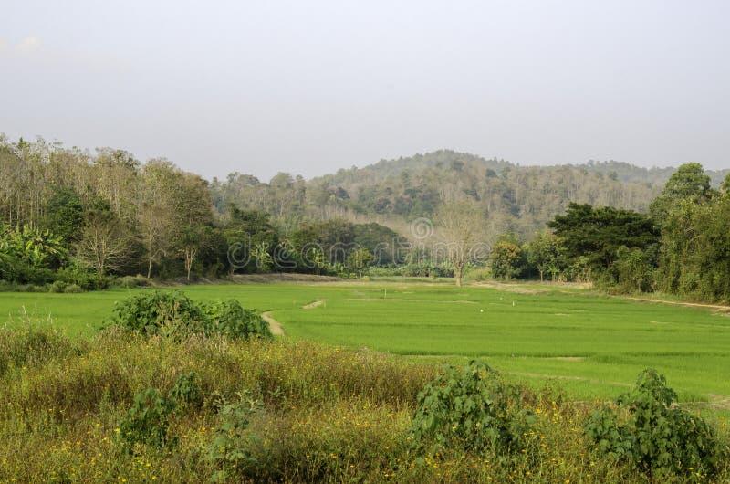 Rice pole w z prowincji, Tajlandia zdjęcie royalty free