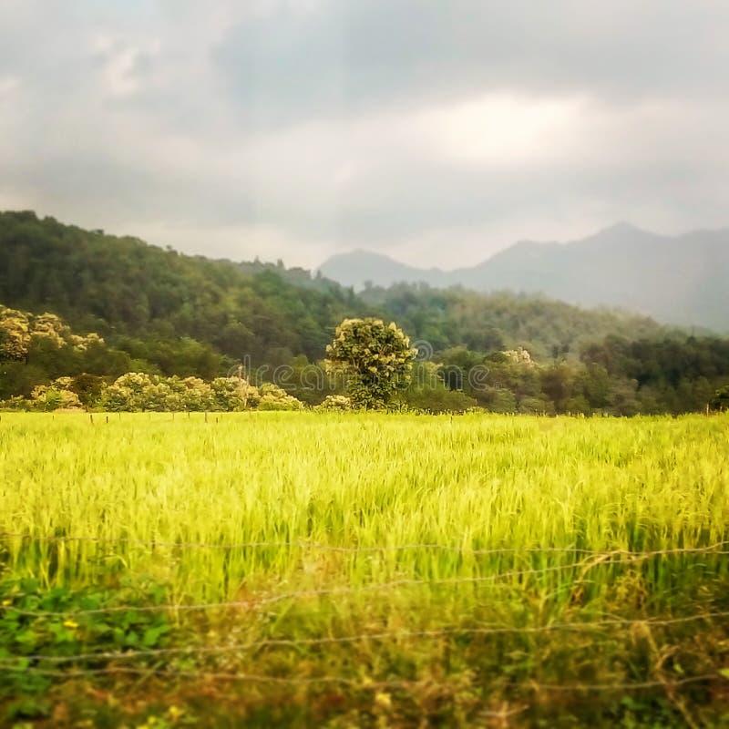 Rice pole z środkowym drzewem i monsunu niebem zdjęcia royalty free
