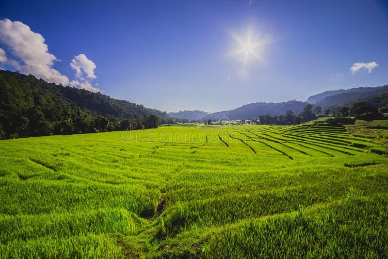 Rice pole z słońcem obrazy stock