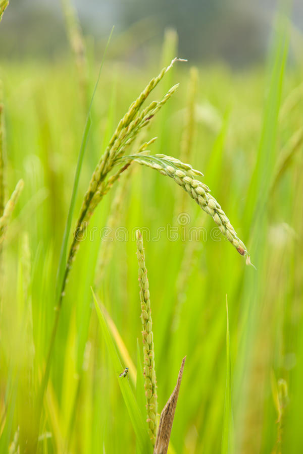 Rice in rice field stock photo