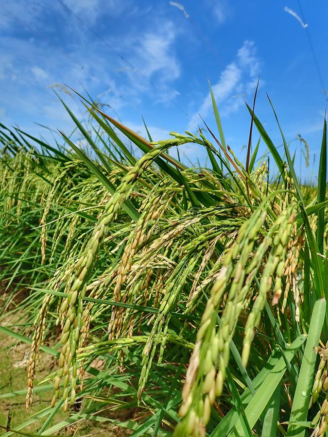Rice ripe paddy field ready for harvest season. A paddy field is a flooded parcel of arable land used for growing semiaquatic rice. Paddy cultivation should not royalty free stock image