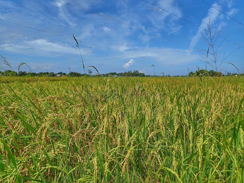 Rice ripe paddy field ready for harvest season. A paddy field is a flooded parcel of arable land used for growing semiaquatic rice. Paddy cultivation should not stock image