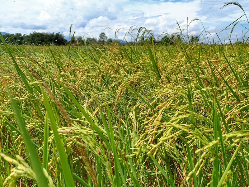 Rice ripe paddy field ready for harvest season. A paddy field is a flooded parcel of arable land used for growing semiaquatic rice. Paddy cultivation should not stock photos