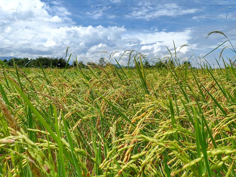 Rice ripe paddy field ready for harvest season. A paddy field is a flooded parcel of arable land used for growing semiaquatic rice. Paddy cultivation should not royalty free stock images