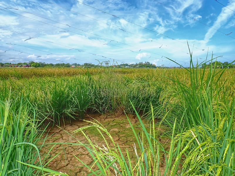 Rice ripe paddy field ready for harvest season. A paddy field is a flooded parcel of arable land used for growing semiaquatic rice. Paddy cultivation should not royalty free stock photography