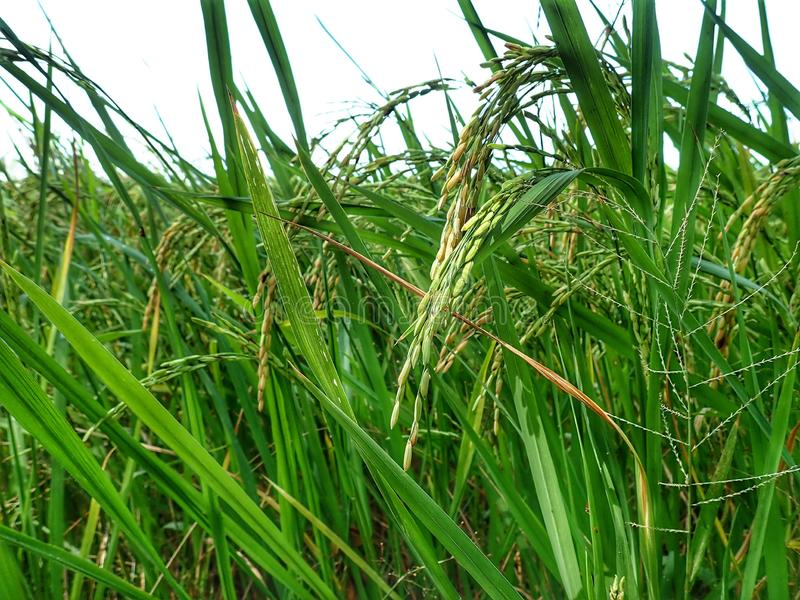 Rice ripe paddy field ready for harvest season. A paddy field is a flooded parcel of arable land used for growing semiaquatic rice. Paddy cultivation should not royalty free stock photos