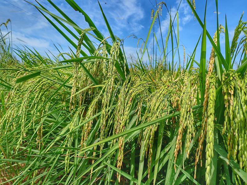 Rice ripe paddy field ready for harvest season. A paddy field is a flooded parcel of arable land used for growing semiaquatic rice. Paddy cultivation should not stock photography