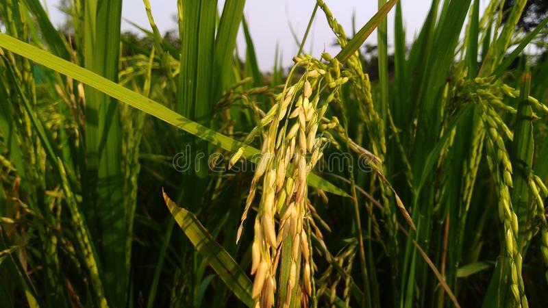 Rice and ripe rice in the rice field The ripe rice is shining in the sun`s light. Rice and ripe rice in the rice field stock photography
