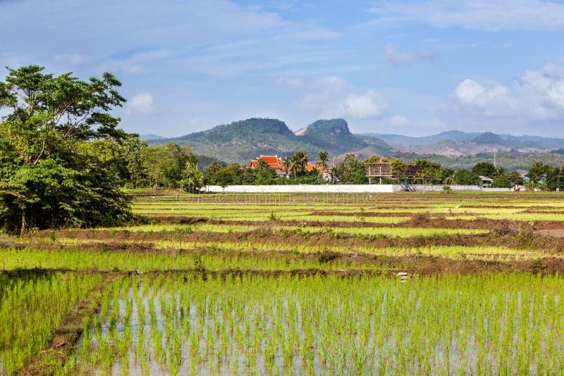 Rice sätter in i Thailand arkivfoto