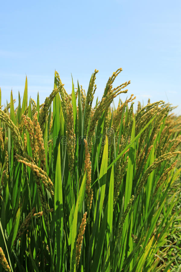 Download Rice Scenery Royalty Free Stock Images - Image: 24573279