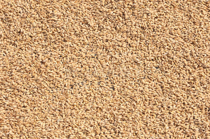 Download Rice seed stock image. Image of cereal, nature, organic - 25691227