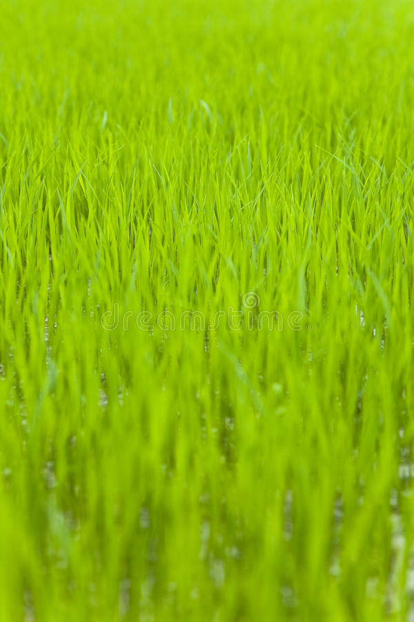Download Rice Seedling Royalty Free Stock Photography - Image: 25432677
