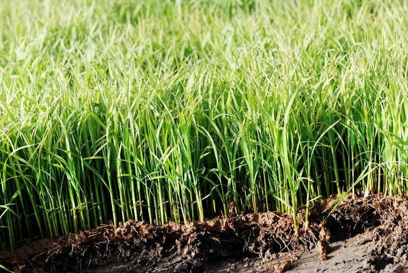 Download Rice Seedling Royalty Free Stock Images - Image: 5691059