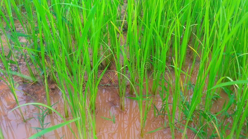 the rice seedling grow royalty free stock image