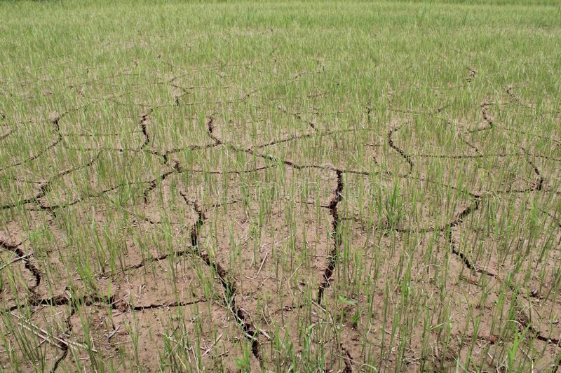 Rice seedling in the soil are broken. royalty free stock photo
