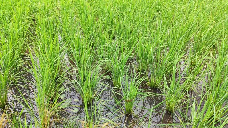 Rice seedlings are growing, background, natural. royalty free stock photos