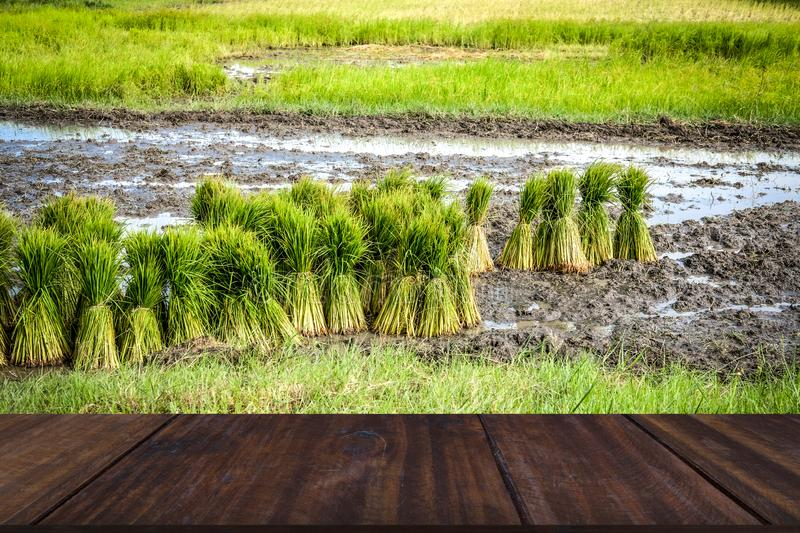 Rice seedlings for growing in paddy field. Rice plant seedlings for growing in paddy field in rural Thailand stock image