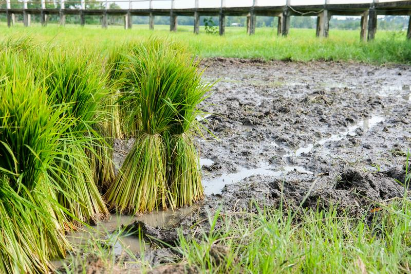 Rice seedlings for growing in paddy field. Rice plant seedlings for growing in paddy field in rural Thailand stock photos