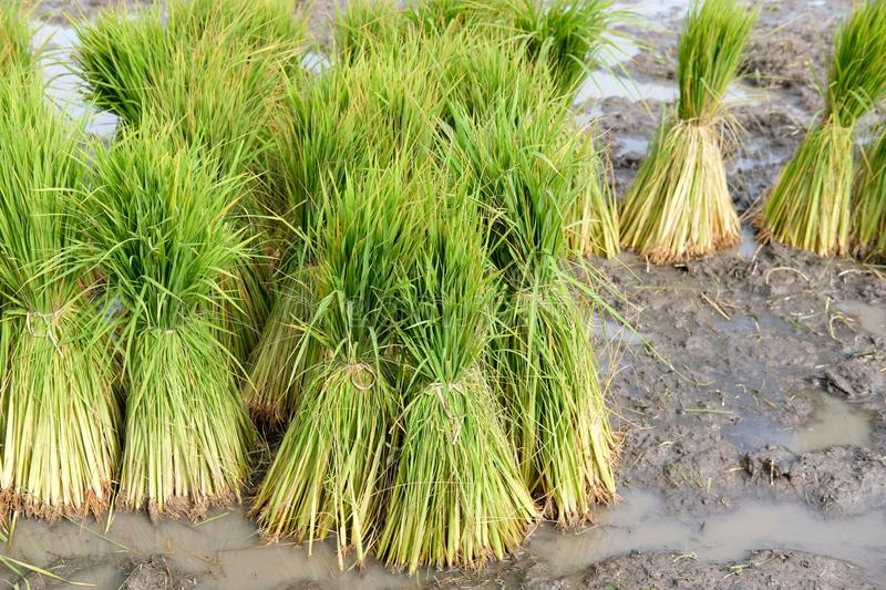 Rice seedlings for growing in paddy field. Rice plant seedlings for growing in paddy field in rural Thailand royalty free stock photo