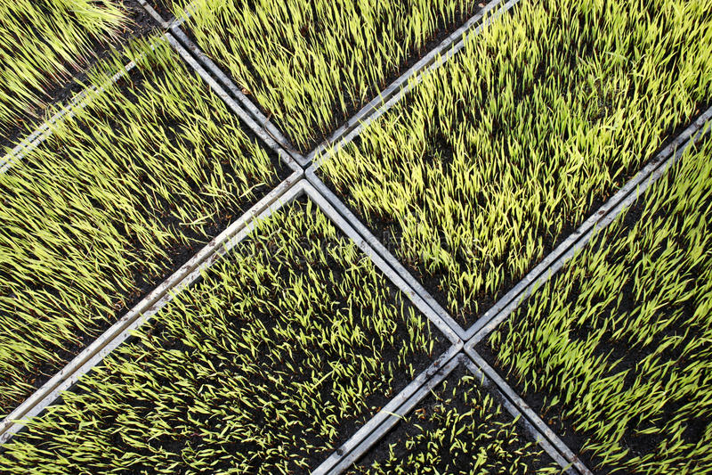 Rice seedlings. Image of rice seedlings for background royalty free stock photo