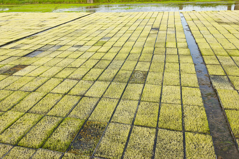 Download Rice Seedlings. Royalty Free Stock Images - Image: 33325979