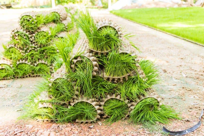 The rice seedlings plant in nurseries stock image