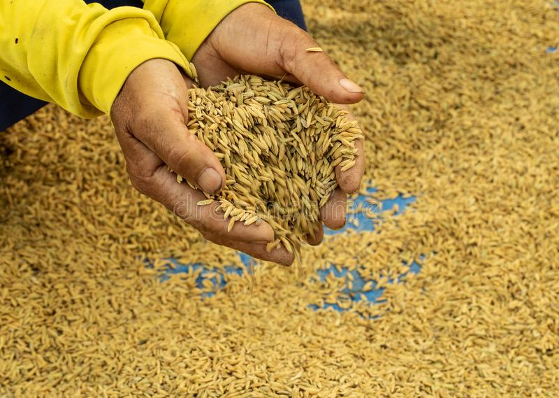 Rice seeds on man farmer hands on paddy background, a higher qua. Lity of rice. Agriculture harvest growth. Ripe food. Farmer work to prepare farm before rice stock photography