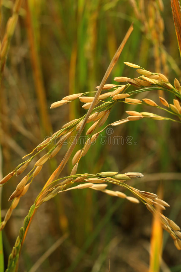 Rice seeds royalty free stock photography