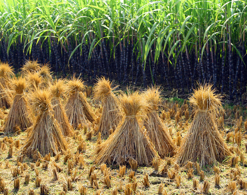 Rice sheaf after harvest on the field. Rice sheaf after harvest on on the background of a sugar cane plantation stock images