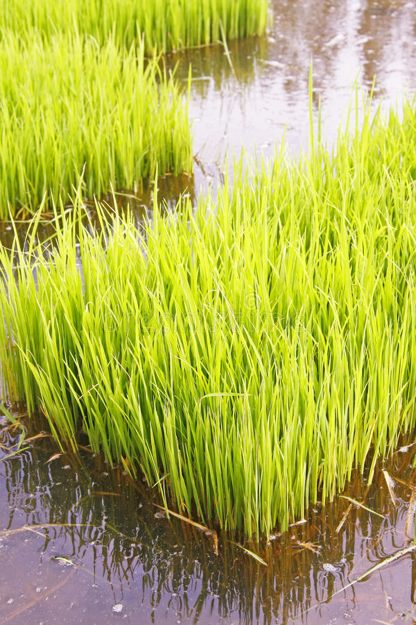 Download Rice Sprouts Royalty Free Stock Photos - Image: 32392468