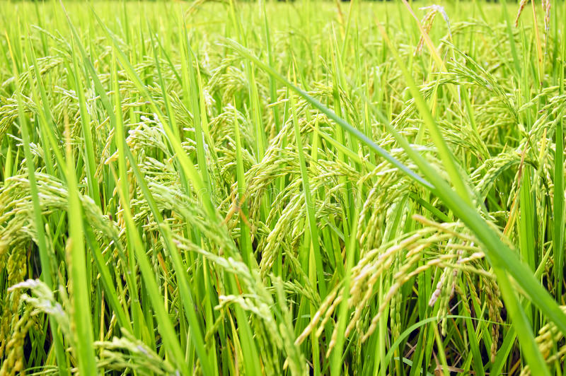 Download Rice Stalks stock photo. Image of pattern, plant, photography - 20143450
