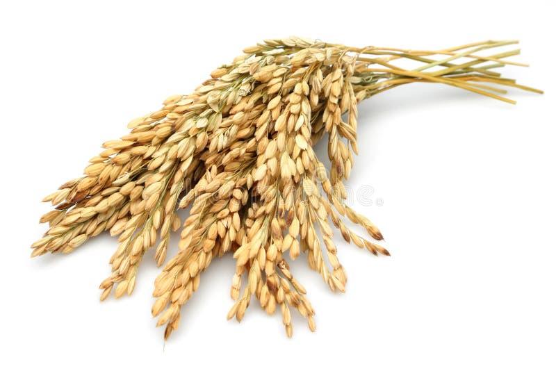 Rice stalks stock photos