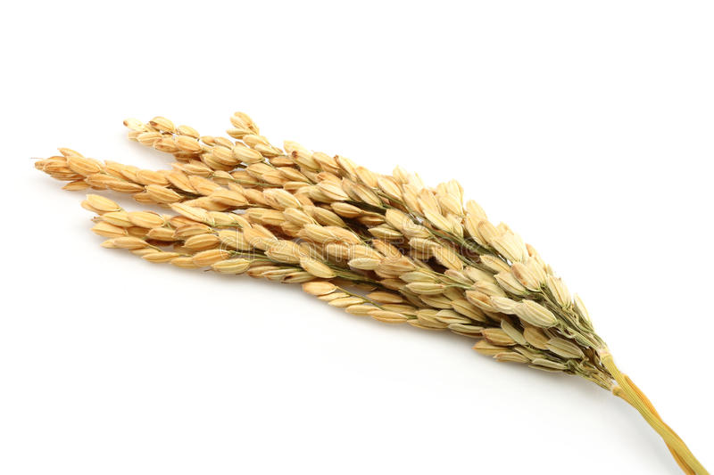 Rice stalks stock images