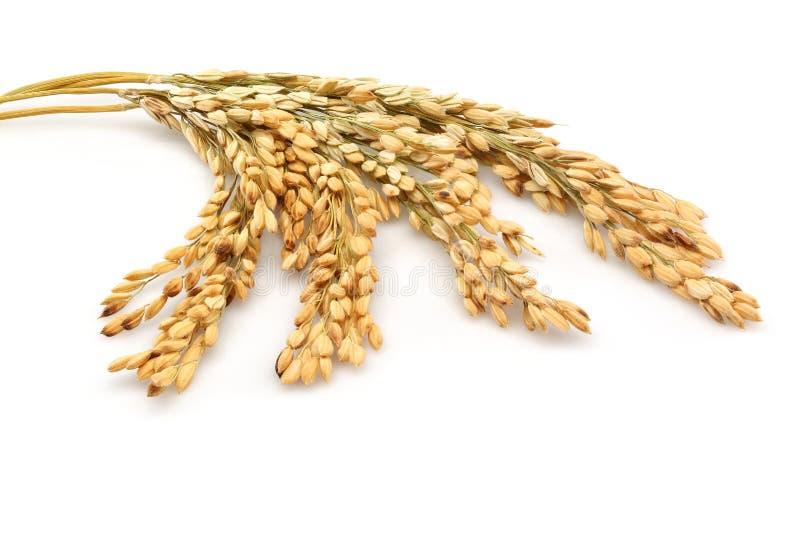 Rice stalks stock image
