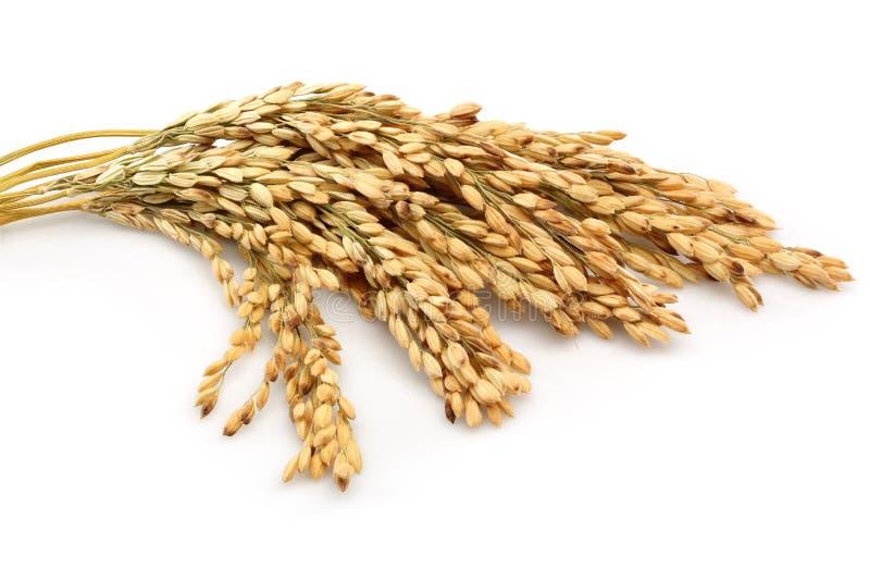 Rice stalks royalty free stock image