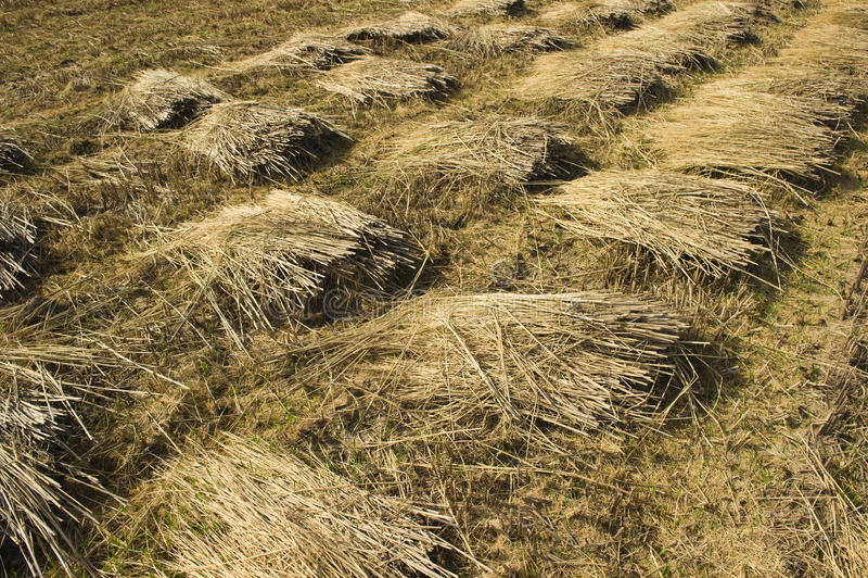 Rice Straw Royalty Free Stock Photo