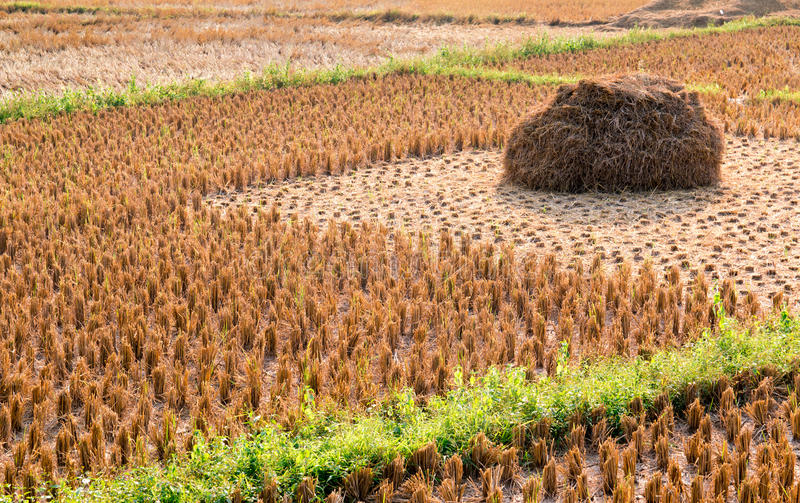 Rice straw field on harvested agricultural field royalty free stock photo