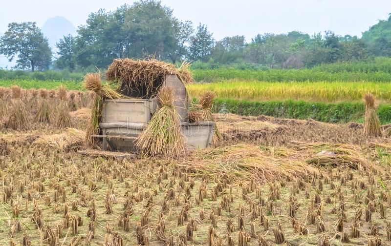 Rice straw hay in paddy field after harvest in rainy overcast weather. stock photo