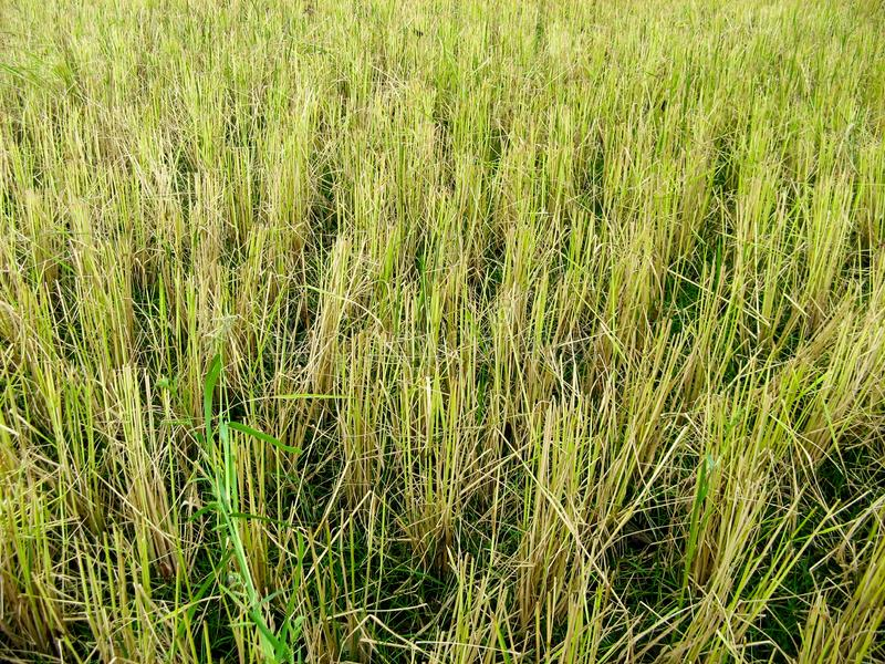 Rice straw at the paddy rice field just after harvesting. royalty free stock photos