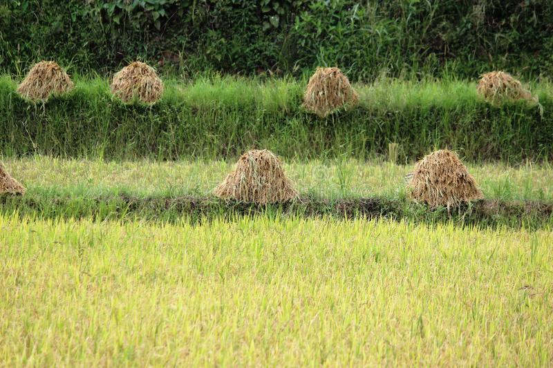 Rice straws. Rices straws in rice field stock images
