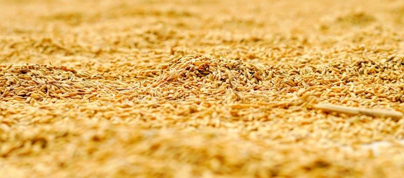 Rice suchy out na dachu Makro- zdjęcie royalty free