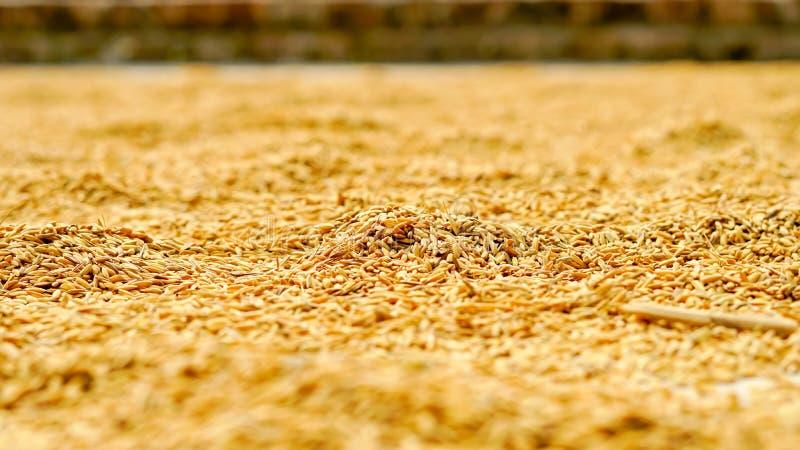 Rice suchy out na dachu szeroki fotografia stock