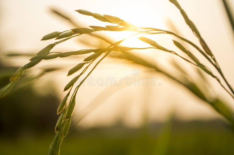 Rice and sunset stock photos