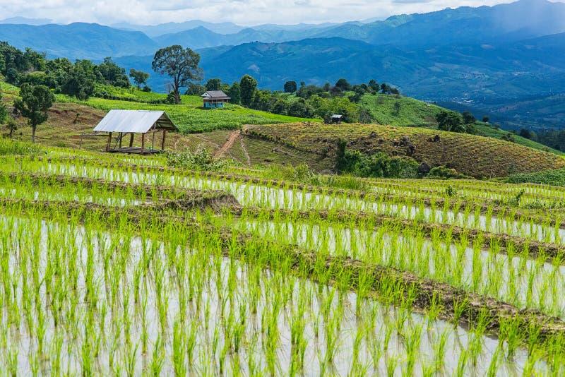 Rice taras w chmurnym oświetleniu pora deszczowa obraz stock