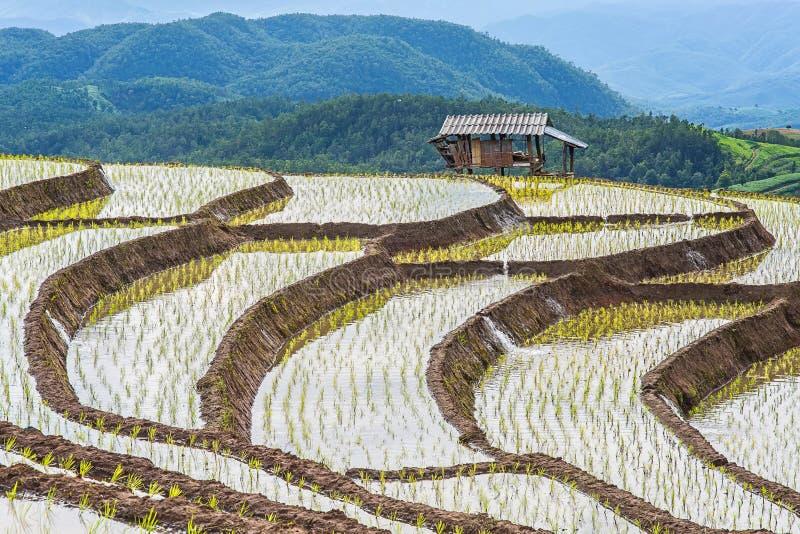 Rice taras w chmurnym oświetleniu pora deszczowa obrazy stock
