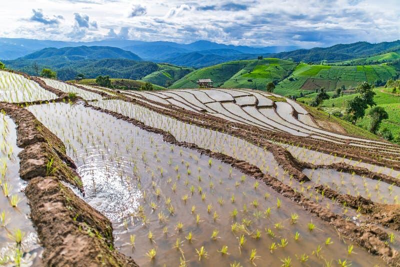Rice taras w chmurnym oświetleniu pora deszczowa zdjęcie stock