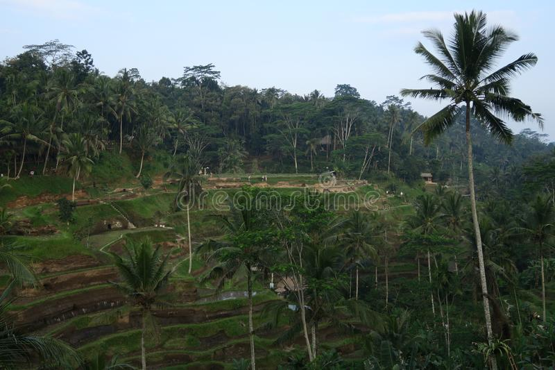 Rice tarasuje ubud tegallalang z kokosowym drzewem lub tegalalang fotografia stock