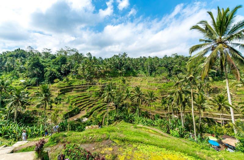 Rice tarasuje w Tegallalang, Ubud, Bali, Indonezja fotografia royalty free