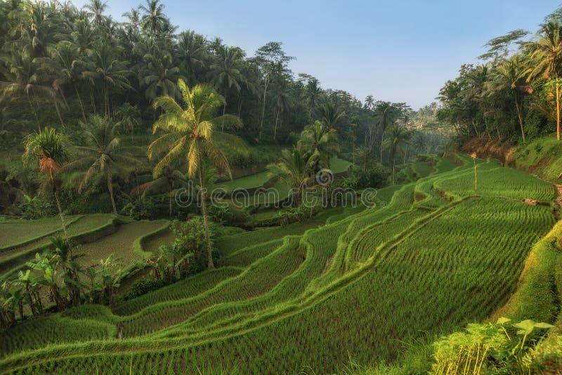 Rice tarasuje w Tegallalang, Ubud, Bali, Indonezja uprawa, gospodarstwo rolne, zdjęcie stock
