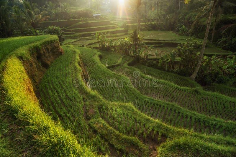 Rice tarasuje w Tegallalang, Ubud, Bali, Indonezja uprawa, gospodarstwo rolne, zdjęcia royalty free